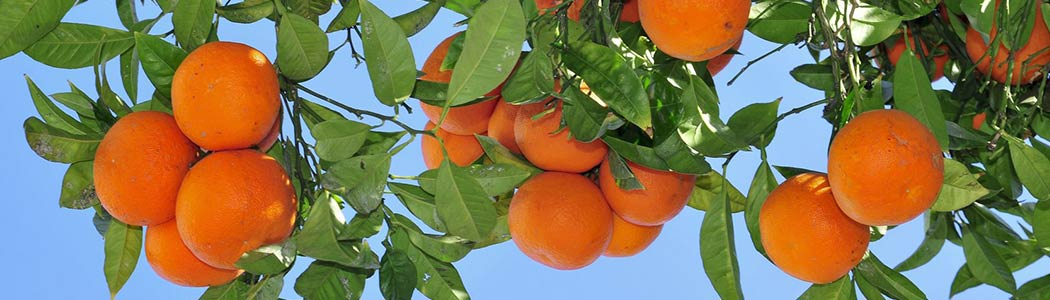 Moorpark Orange Trees