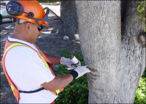 Preventative Tree Injections in Moorpark & Simi Valley